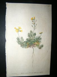 Curtis 1791 Hand Col Botanical Print. Sengreen Draba or Whitlow Grass 170